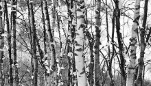 #Neige Bouleaux 64,5x94cm caisse américaine chêne n°1/12